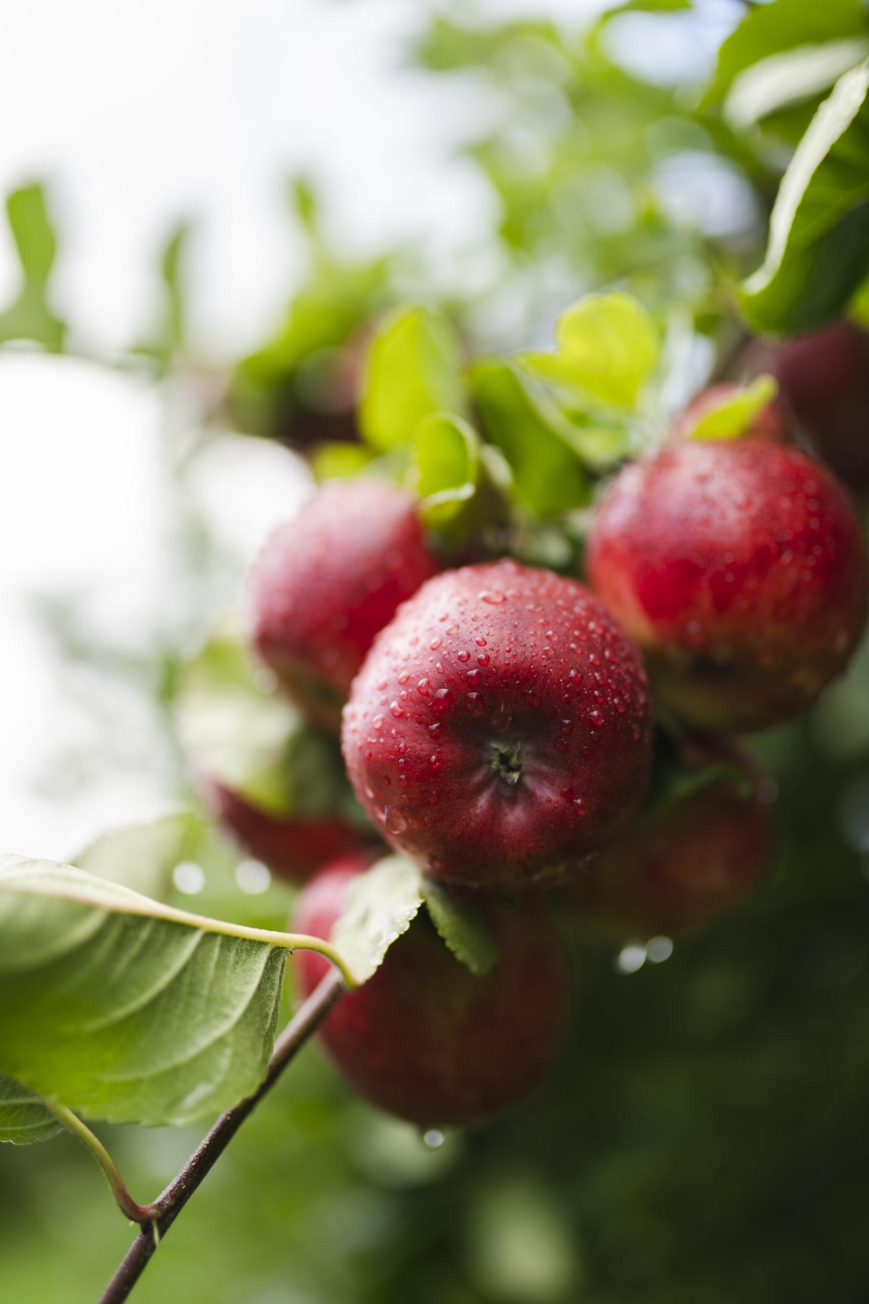 Raude eple på frukttre. Foto: Skarv Studio
