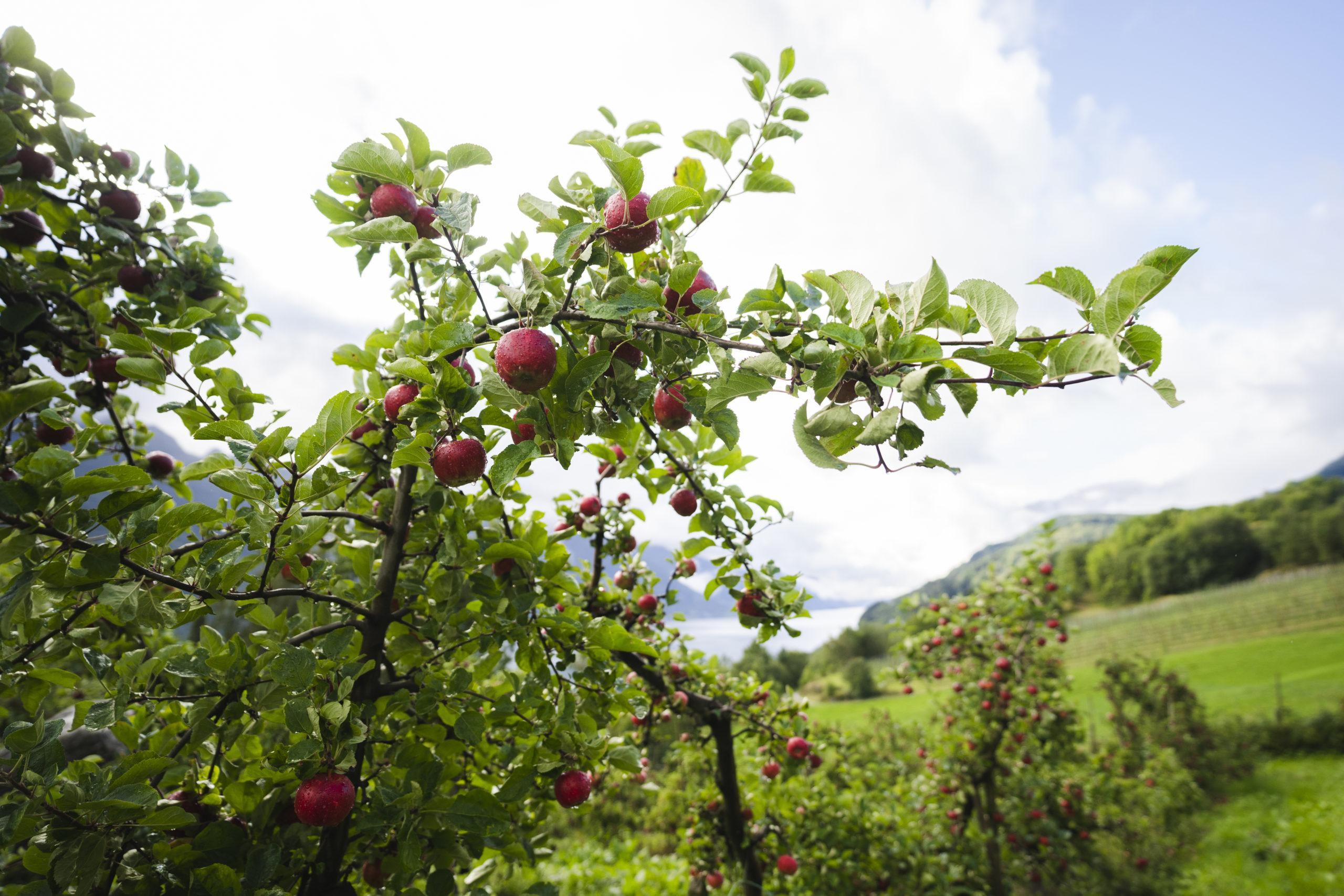 Raude epler på frukttre. Foto.